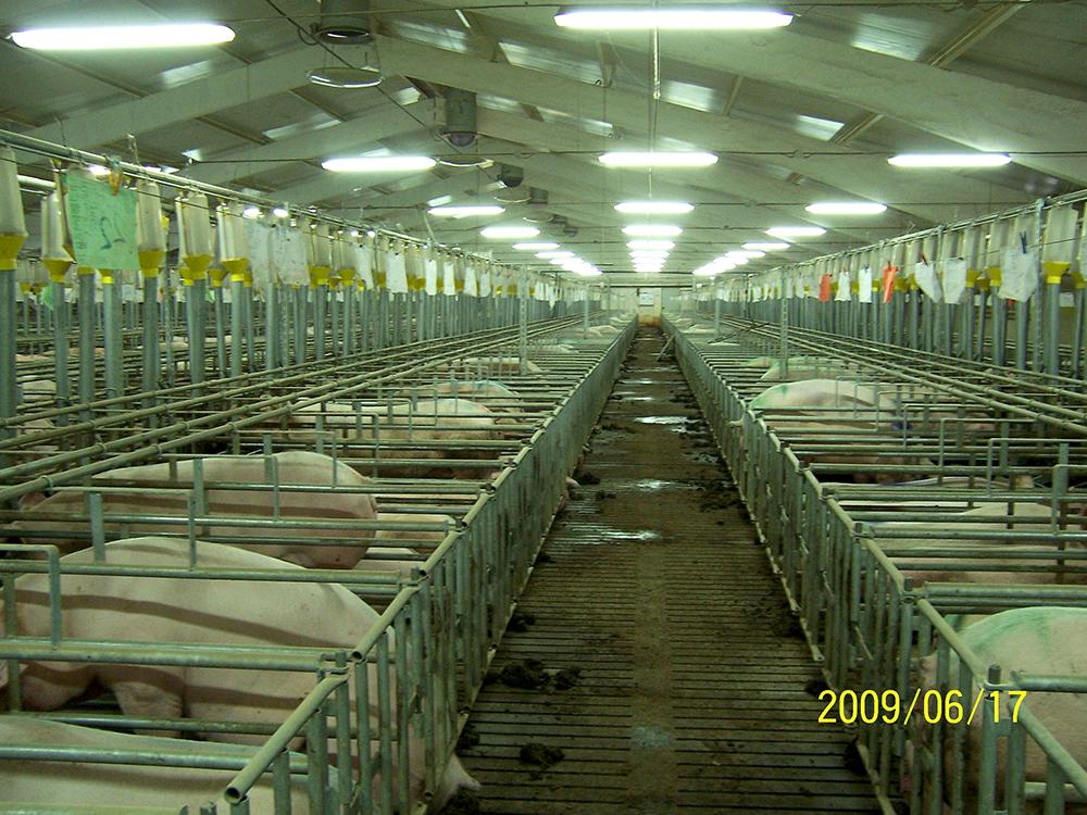 Свинокомплекс Сафоновский, здание для содержания свиноматок