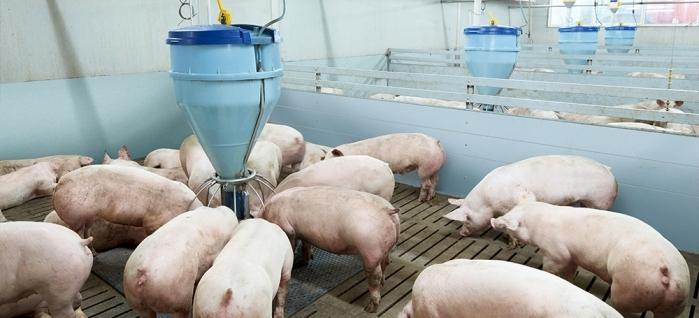 Содержание свиней на откорме